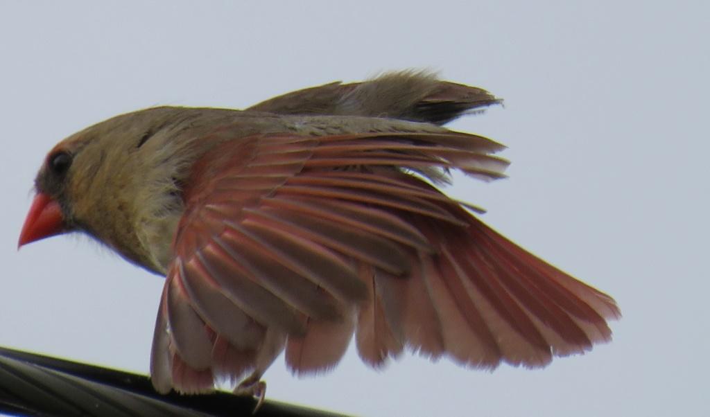 cardinal Img_0517