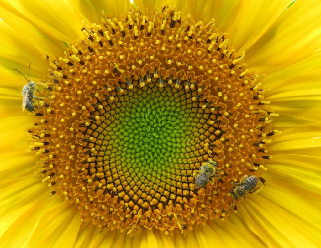 Abeilles dans une fleur de tournesol Img_0613