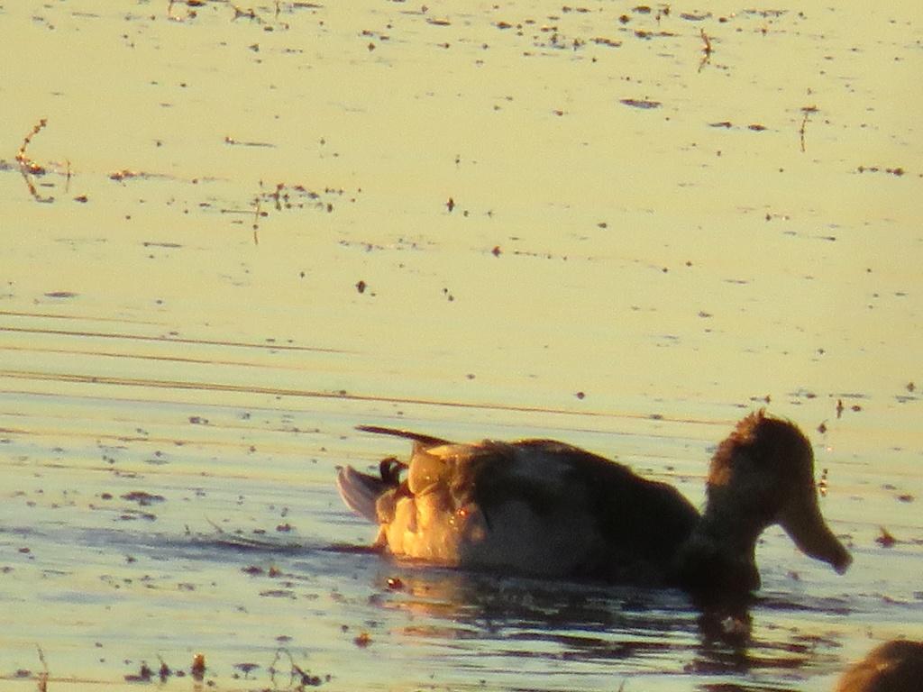 canard à identifier (photo pas super précise) Img_0725