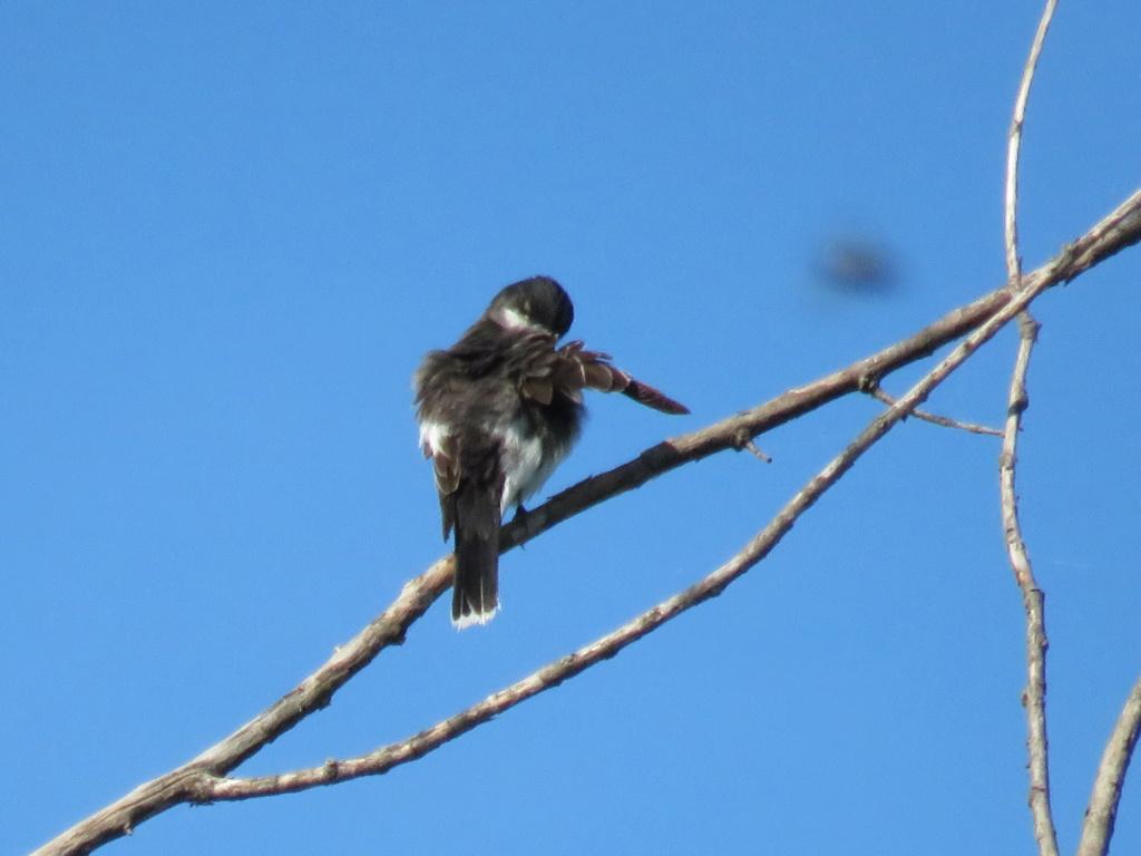 oiseau à identifier s.v.p un tyran? Img_1618
