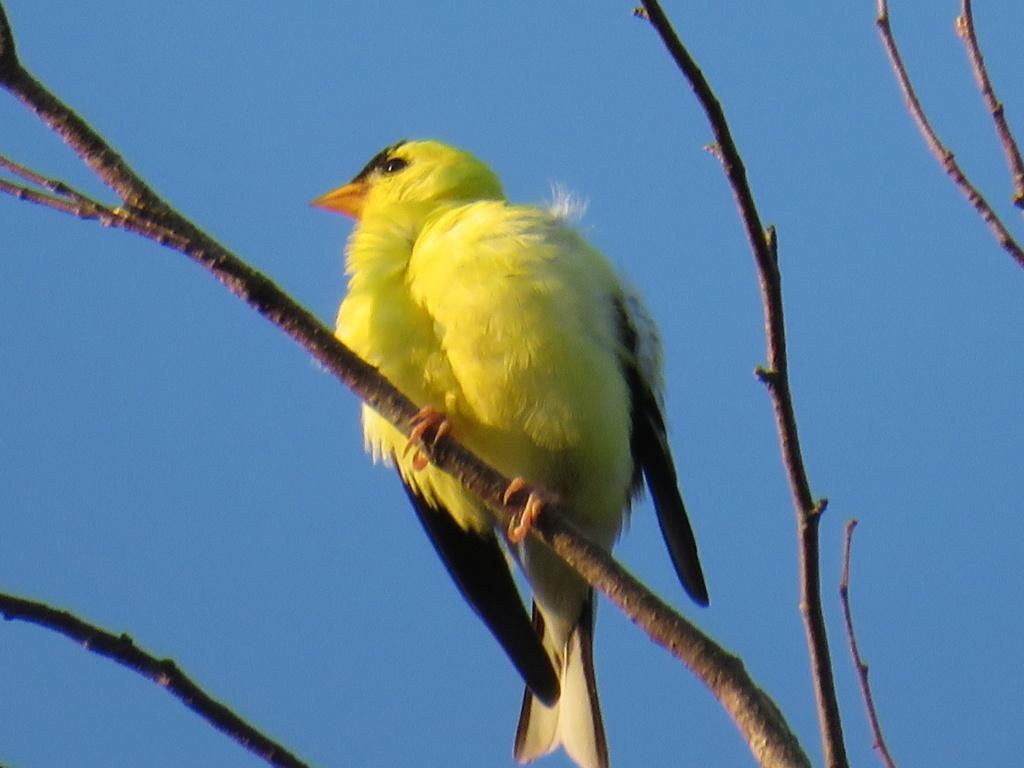 Chardonneret jaune Img_1622