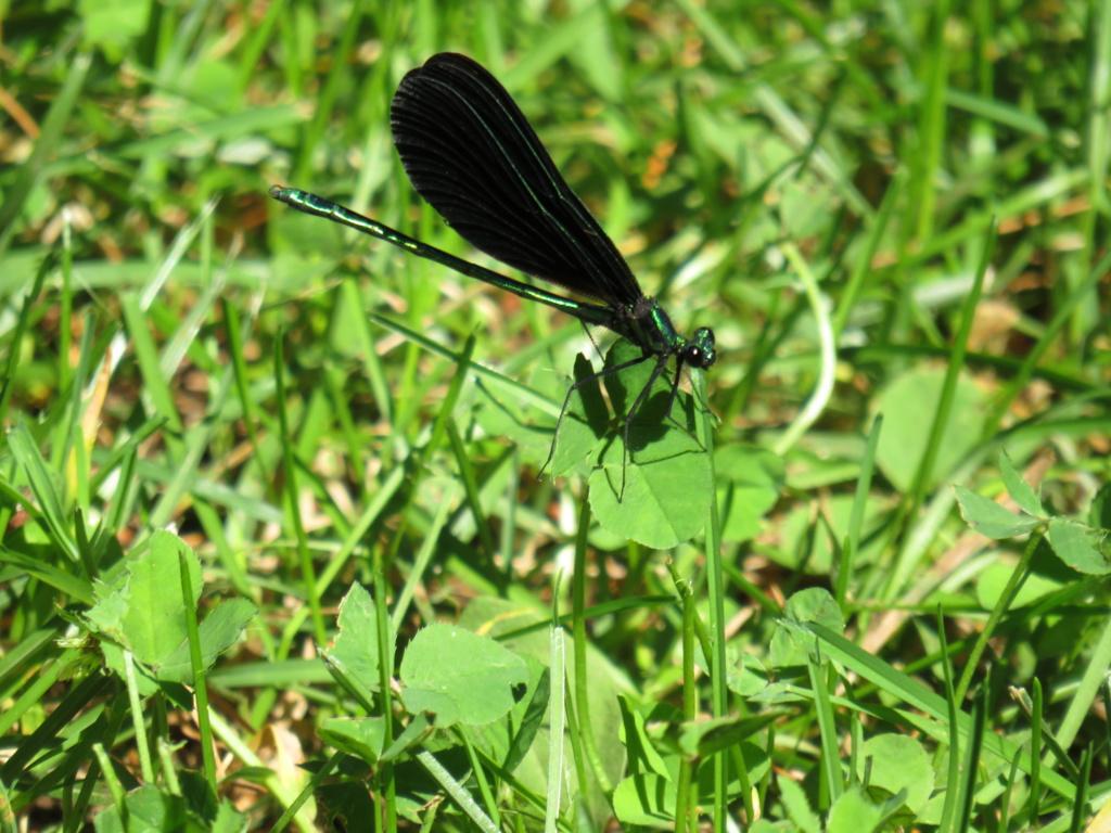 Caleopteryx virgo Img_1631