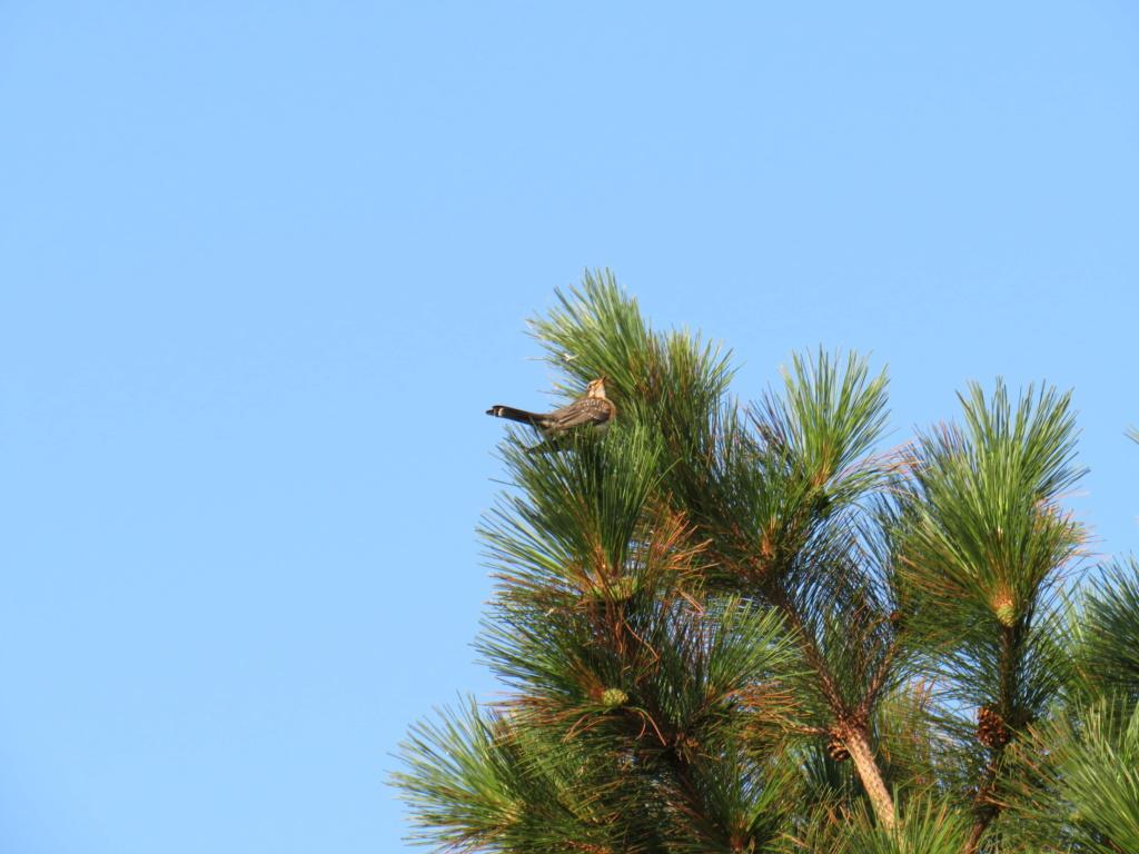 Quelqu'un connait cet oiseau? Seule photo malheureusement Img_1712