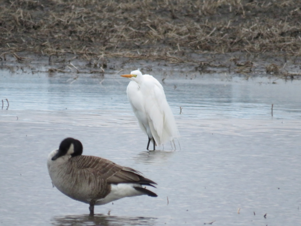 Une aigrette neigeuse? Img_2214