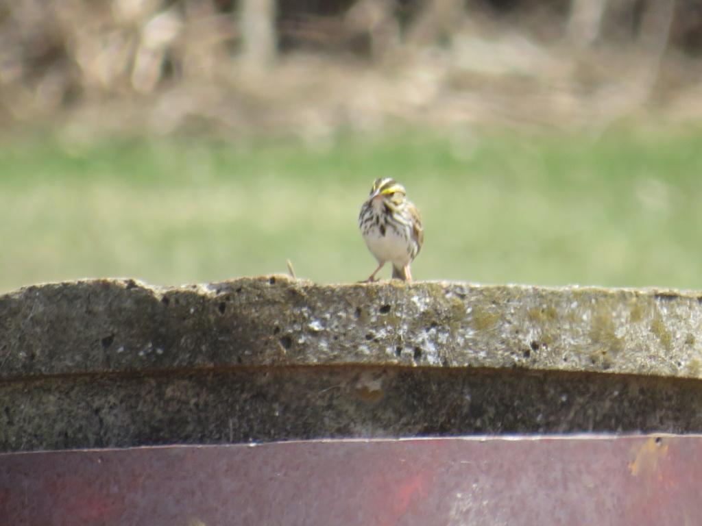 aide pour identifier ce petit oiseau Img_2229