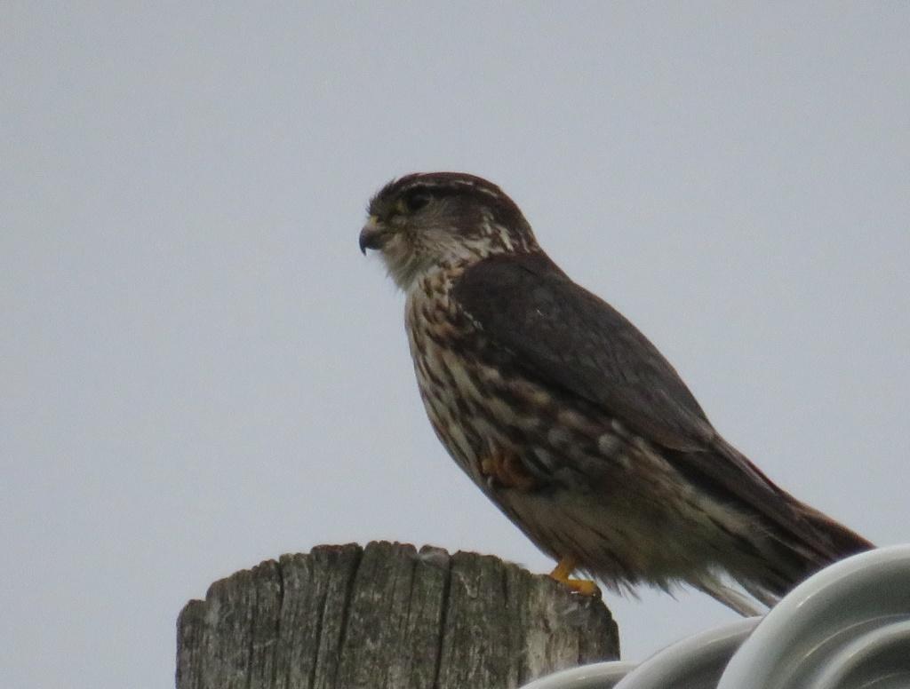 oiseau de proie à identifier (2 photos) Img_2610