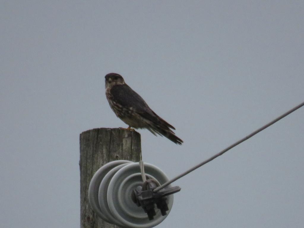 oiseau de proie à identifier (2 photos) Img_2611