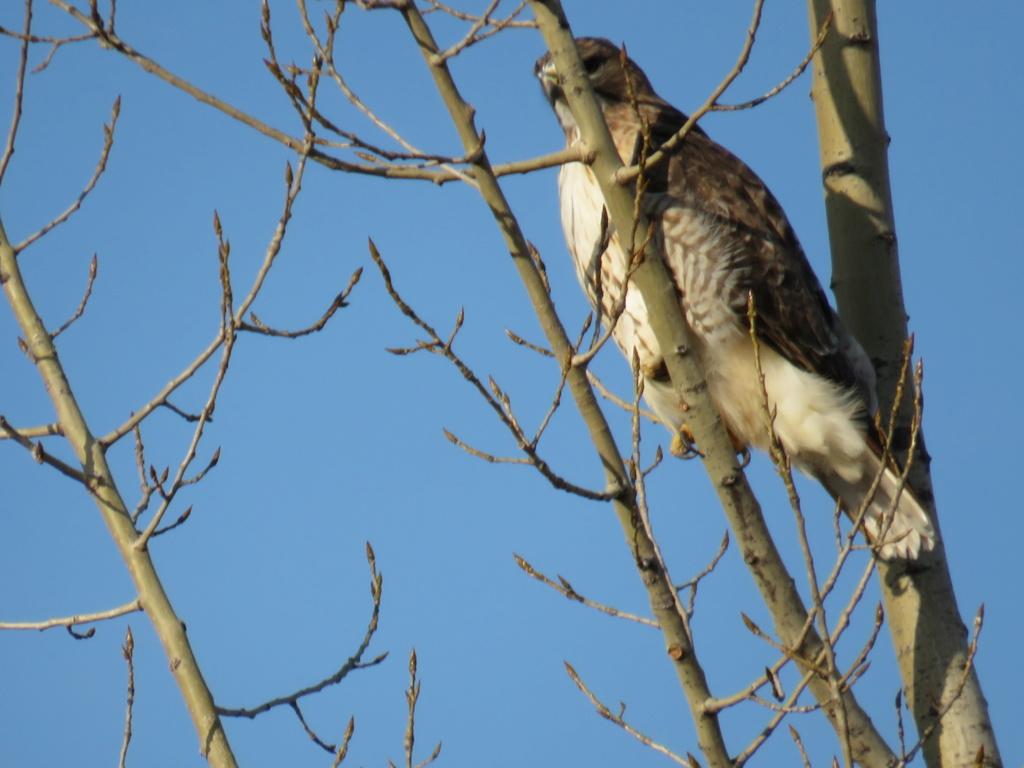 identification d'un oiseau de proie s.v.p. Img_2915