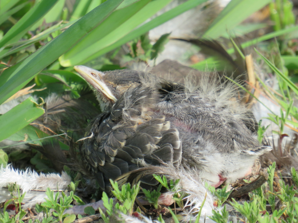 oisillon tombé du nid Img_3315