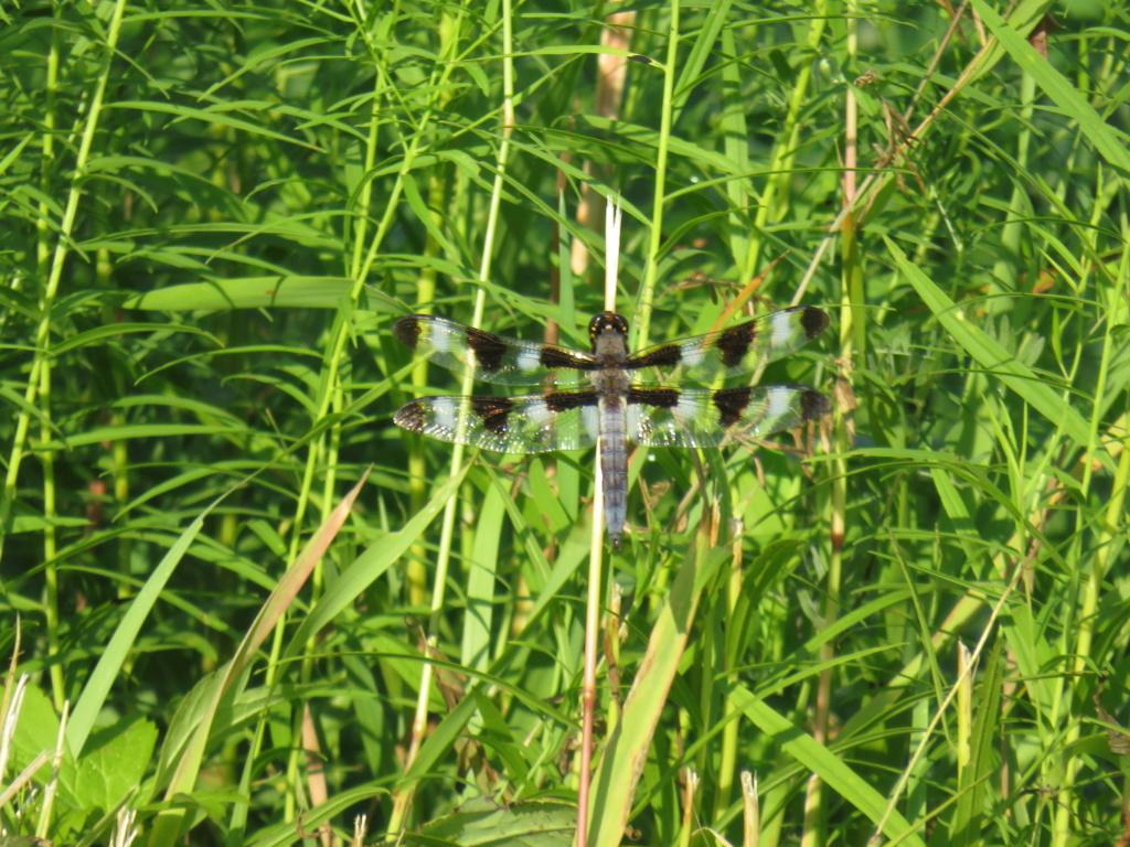libellule plathemis lydia Libell11