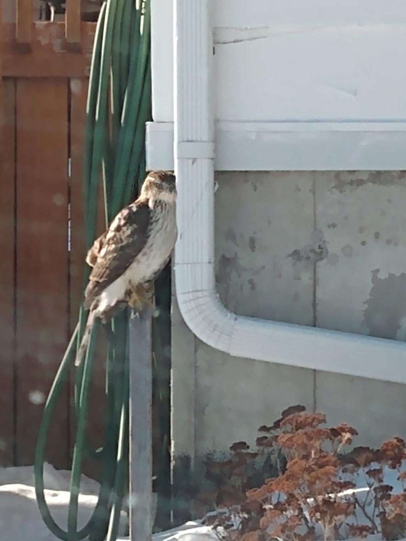 Quel est cet oiseau de proie? Il semblait blessé Zoperv10