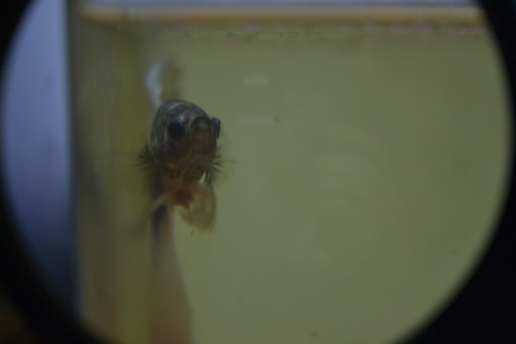 une sorte de gros parasite avec tentacules!! help! callamanus Dsc_0111