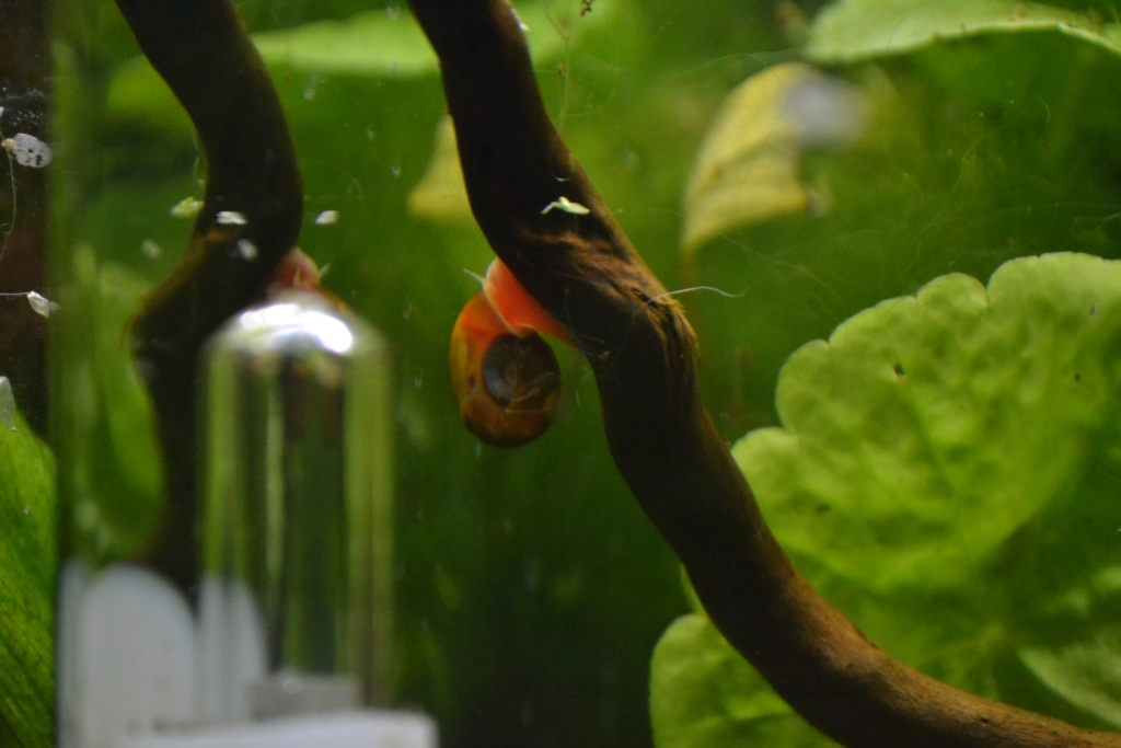 une sorte de gros parasite avec tentacules!! help! callamanus Dsc_0711
