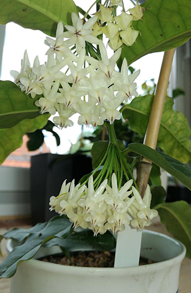 Blüten 2018 Hoya-l12