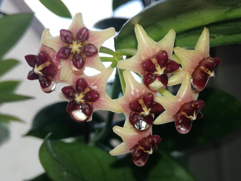 Blüten 2018 Hoya-l13