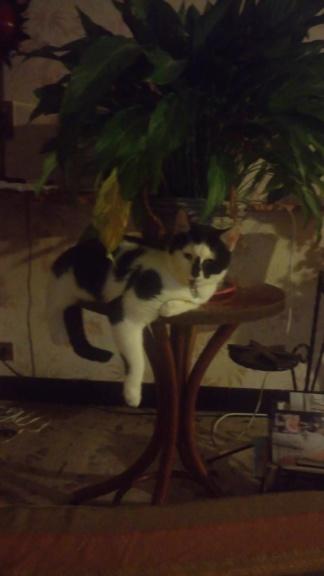 COMETE (chaton noir et blanc) Dsc_0414