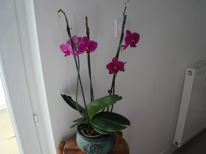 phalaenopsis - Page 4 01_02_10