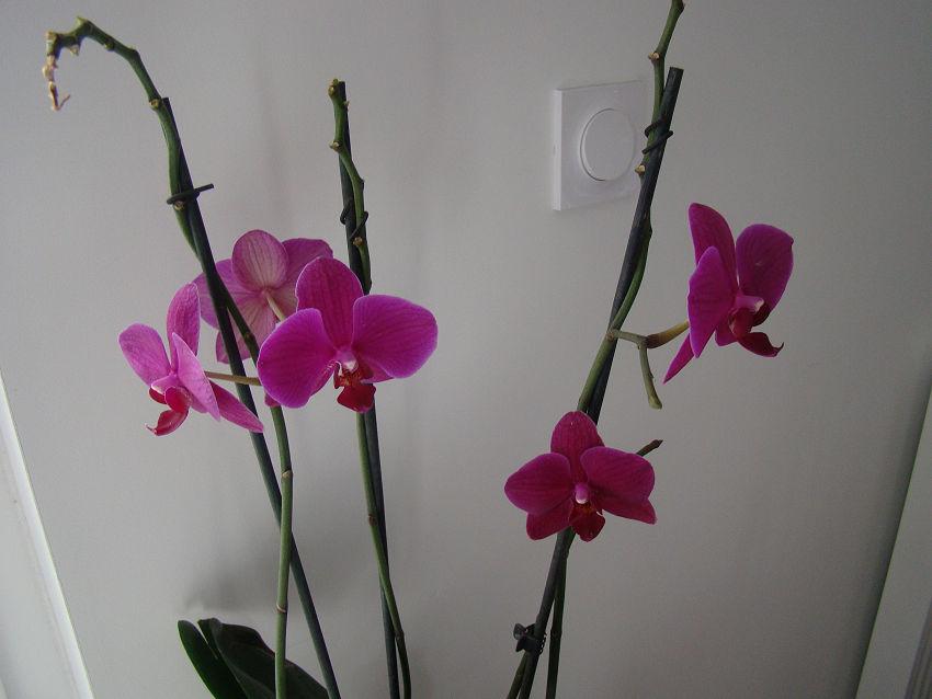 phalaenopsis - Page 4 0201_210