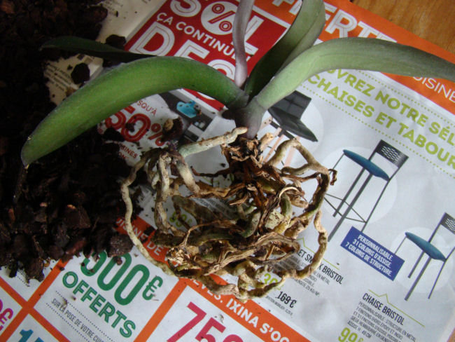 phalaenopsis Dsc07913