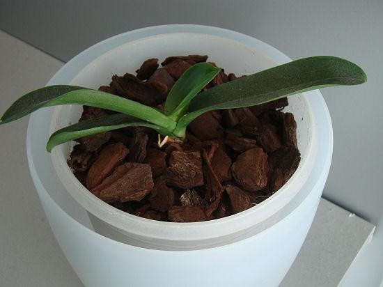 phalaenopsis - Page 2 Dsc08411