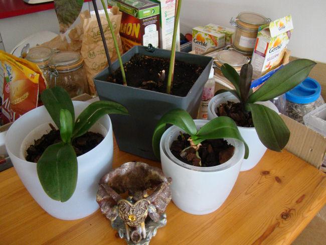 phalaenopsis Orchid10