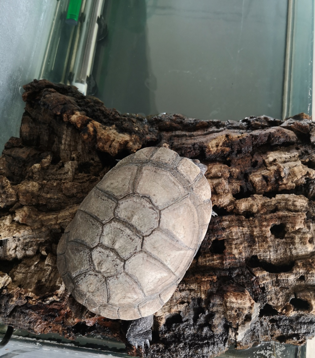 Pelomedusa, carapace blanche Tortue11