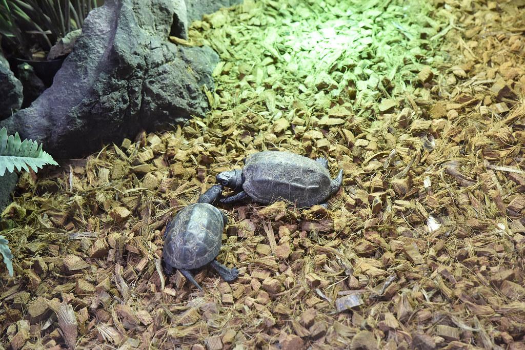 "Visite de ""Pairi daiza"" (Belgique). ""les tortue"" 015_du10"