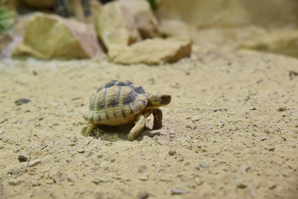 "Visite de ""Pairi daiza"" (Belgique). ""les tortue"" 016_du10"