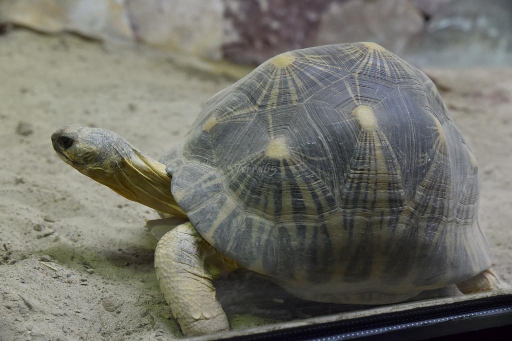 "Visite de ""Pairi daiza"" (Belgique). ""les tortue"" 018_du10"