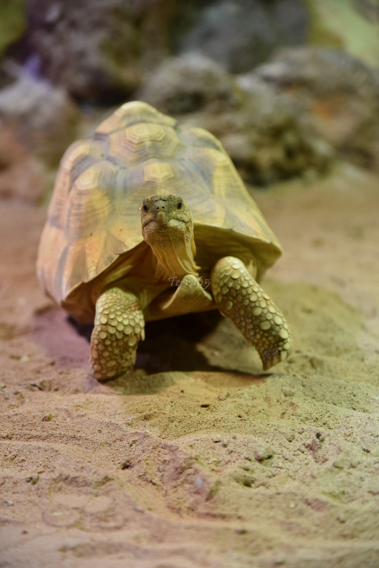 "Visite de ""Pairi daiza"" (Belgique). ""les tortue"" 019_du10"