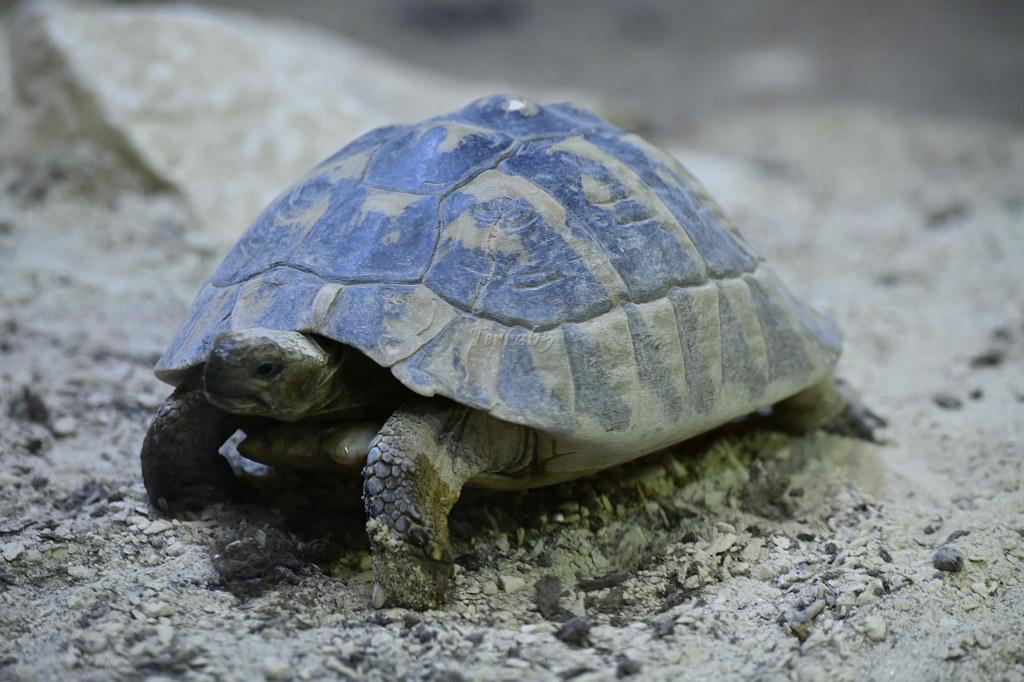 "Visite de ""Pairi daiza"" (Belgique). ""les tortue"" 024_du10"