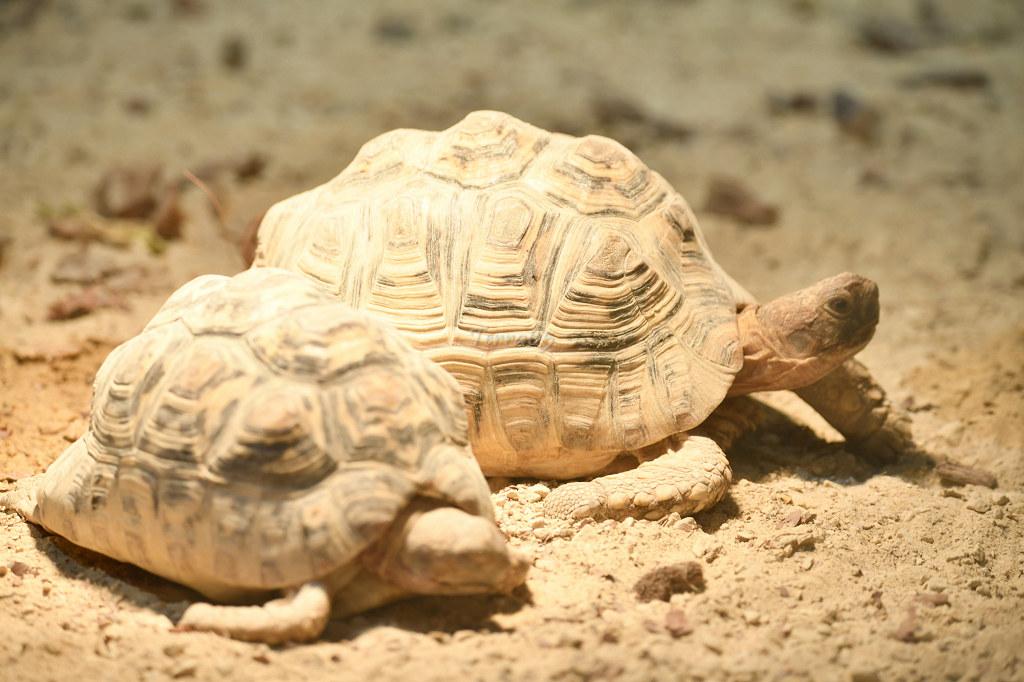 "Visite de ""Pairi daiza"" (Belgique). ""les tortue"" 027_du10"