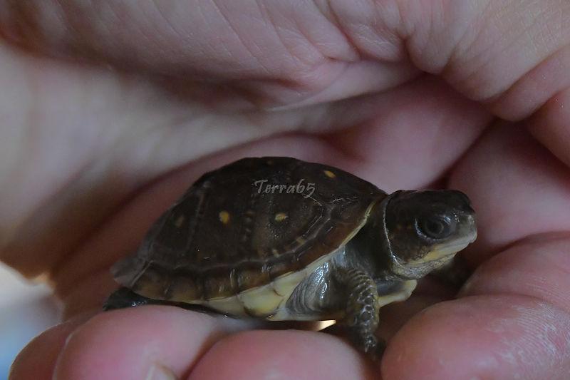Mes bébés Terrapene Carolina Triunguis(Terra65) Terrap28