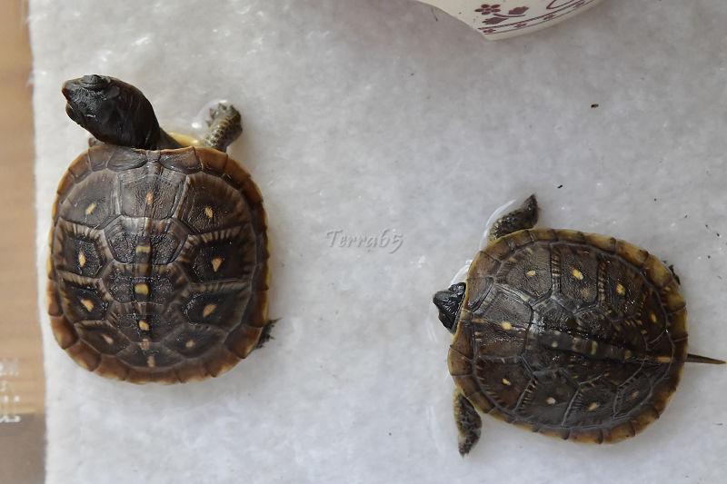 Terrapene Carolina Triunguis (par Terra65) Terrap42
