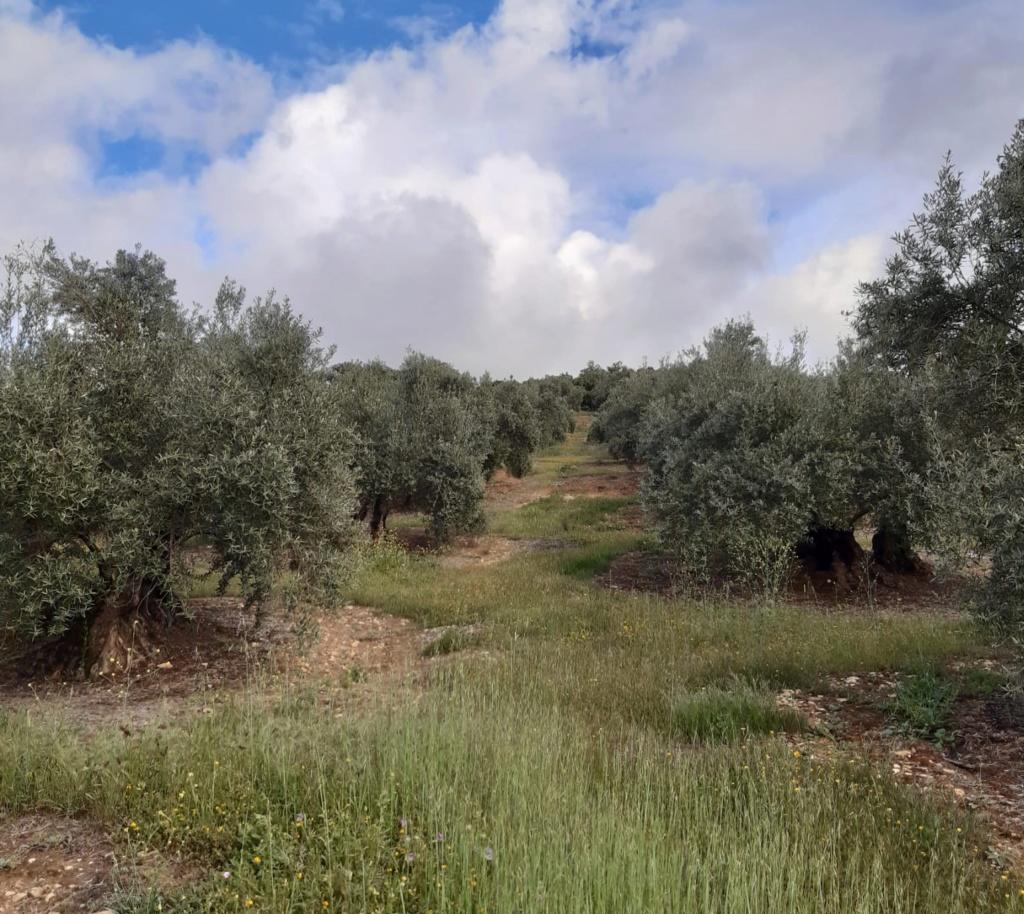 Seguimiento evolutivo/productividad parcela de secano en calar (Jaén) Photo-14