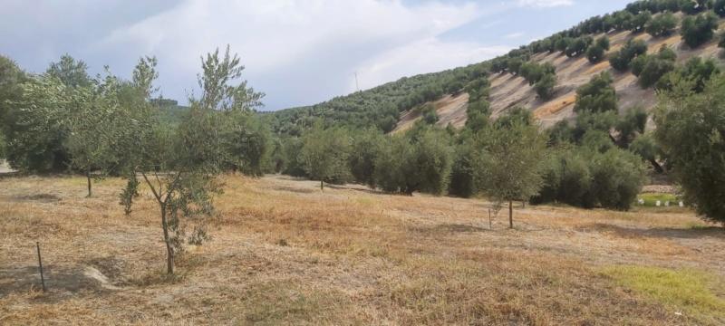 Crecimiento de plantones olivo - Página 16 Photo-32