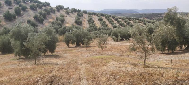 Crecimiento de plantones olivo - Página 16 Photo-33