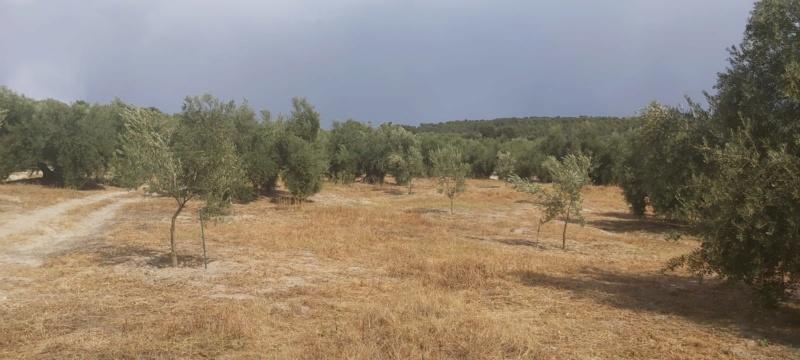 Crecimiento de plantones olivo - Página 16 Photo-34