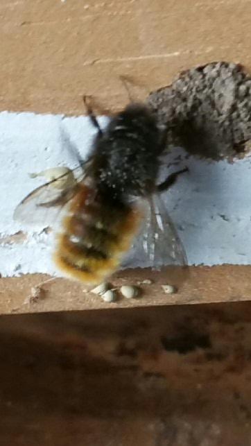 abeille sauvage 2020-010