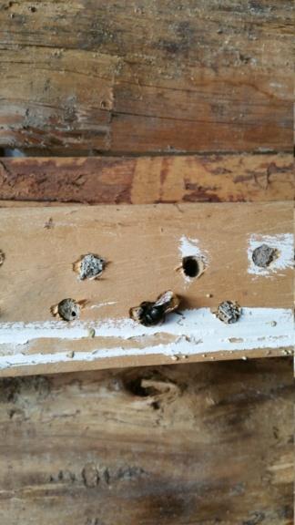 abeille sauvage 20200410