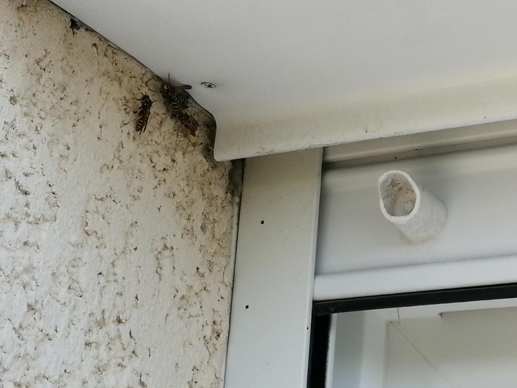 Polistes très présentes sur les murs et les volets Img_2010