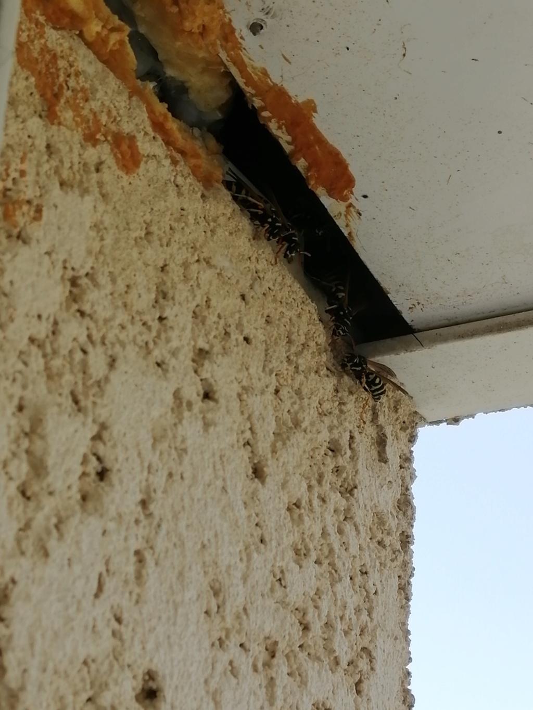 Polistes très présentes sur les murs et les volets Img_2011