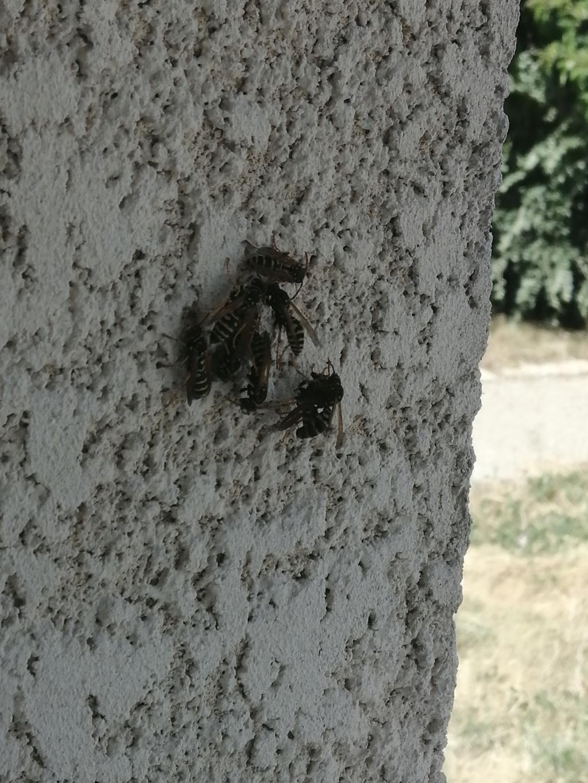 Polistes très présentes sur les murs et les volets Img_2012