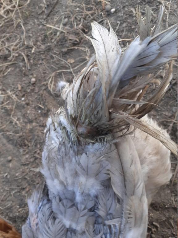 Perte de plumes et piquage : besoin d'y voir clair 20200912