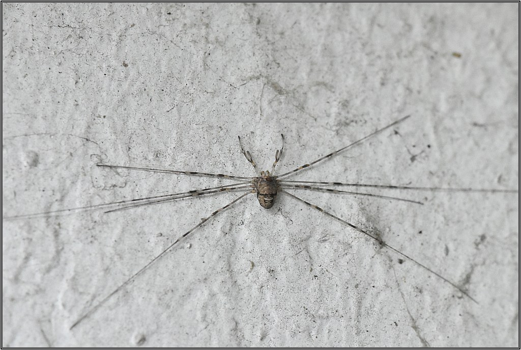 Opilion - Dicranopalpus sp. [Dicranopalpus ramosus] Dicran10