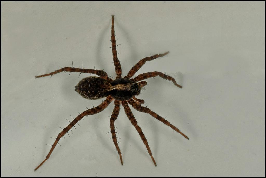 Lycoses - Pardosa Lycose15