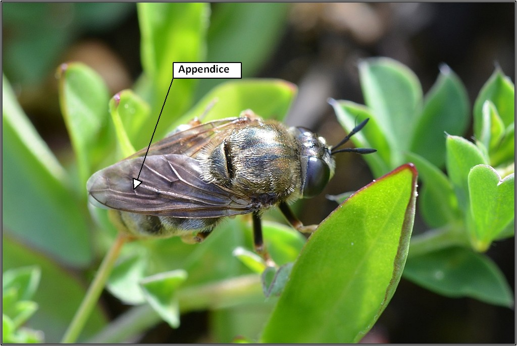 Syrphide [Microdon sp.] Microm10