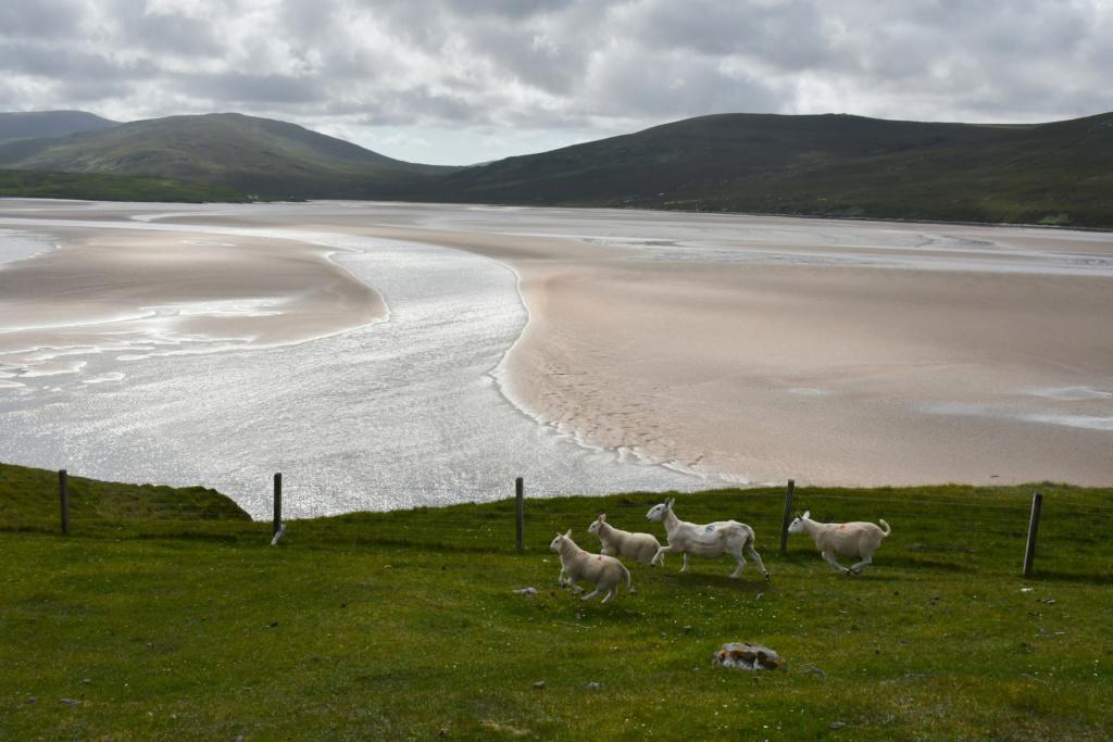 Périple écossais Lambs10