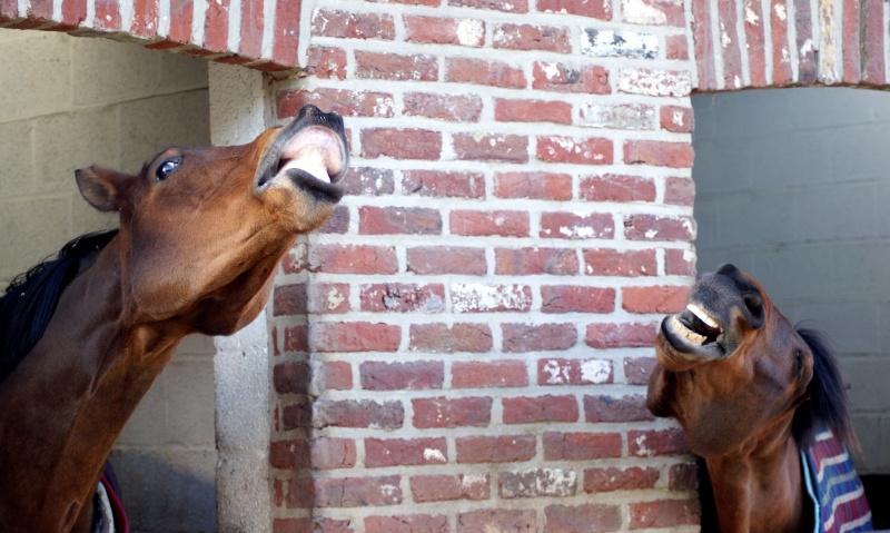 Grimaces équines :) Basacl10