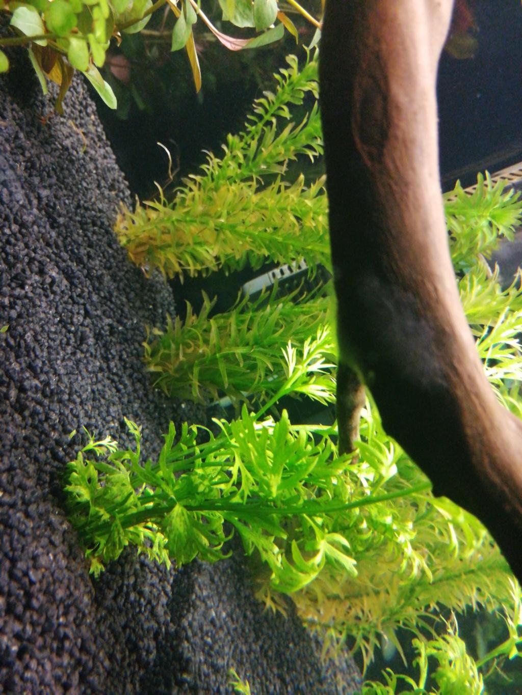 Algues blanche sur racine  16026010